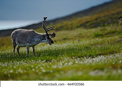 Reindeer, Rangifer tarandus, with massive antlers in the green grass, Svalbard, Norway. Wildlife scene from nature. Animal with backlight.