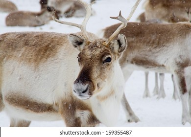 Reindeer (Rangifer tarandus) in the snow in Swedish lapland.