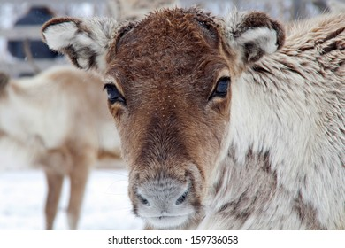 Reindeer (Rangifer tarandus) in the snow in Swedish lapland. Beautiful peaceful gaze, big brown eyes and very fluffy warm coat.