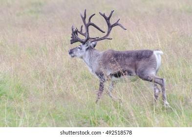 Reindeer running off on a summer day