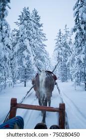 Reindeer Safari in Finnish Lapland at Christmas near Rovaniemi