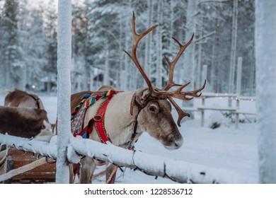 Reindeer at the Santa Claus village in Lapland
