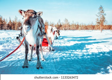 Reindeer Sled Ride, in Winter Snow Forest at Finnish Saami Farm in Rovaniemi, Finland, Lapland at Christmas. At the North Arctic Pole.