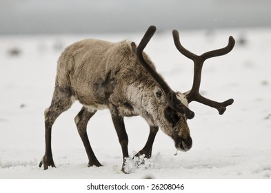 Reindeer in the snow - South Georgia