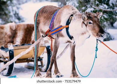 Reindeer in a snow winter forest in Lapland. Finland