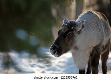 Reindeer in snowy Sweden