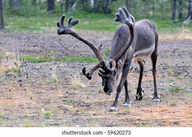 Reindeer stag with exceptionally long antlers approaching camera in natural habitat in a forest in Lapland, Scandinavia