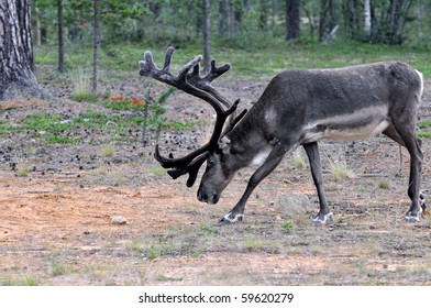 Reindeer stag with exceptionally long antlers feeding in natural habitat in a forest in Lapland, Scandinavia