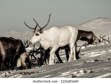 reindeer in wild nature