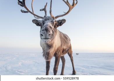 Reindeer, Yamal, Russia