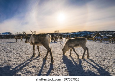 Reindeers and a dramatic sunset as a background, Tromso region,  Norway
