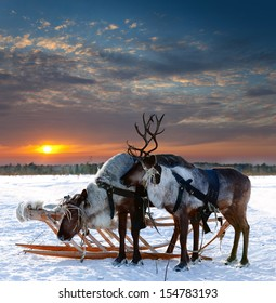 Reindeers are in harness during of winter day.