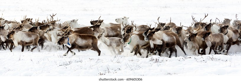 Reindeers migrate for a best grazing in the tundra nearby of polar circle in a cold winter day.