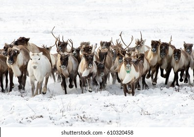 Reindeers migrate for a best grazing in the tundra nearby of polar circle in a cold winter day. Yamal peninsula, Siberia.