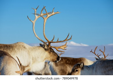 Reindeers in natural environment with a deep blue sky at the background in Tromso region, Northern Norway.