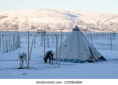 Reindeers in traditional Sami skin tents, Tromso, Northern Norway.
