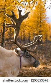 Reindeers at the Tsaatan village, Mongolia. Tsaatan are one of the last groups of nomadic reindeer herders in the world.