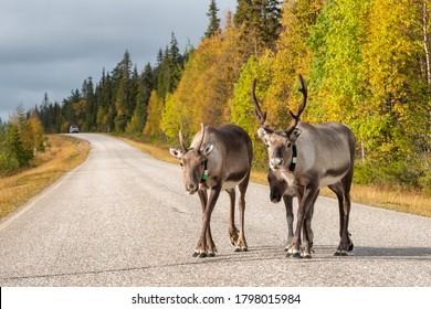 Reindeers walk on the road in Scandinavia. Ruska autumn season in Finland. Deers with gps trackers crossing highway