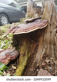 reishi mushrooms growing out of a tree stump