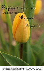 Rejoice In The Lord Always And Again I Say Rejoice. Yellow Tulip