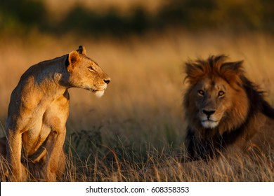 Rekero Lioness with Lion Blacky in the background at sunrise in Masai Mara, Kenya