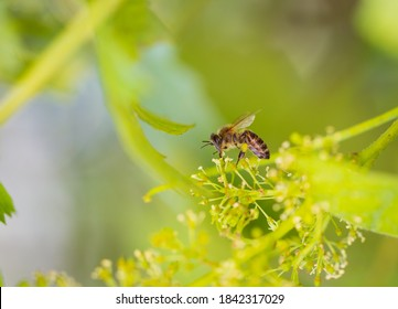 Relationship between fauna and flora - bee pollinates flowering grapes