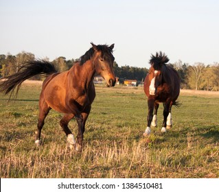 The relationship of horses on a pasture running and aggressive