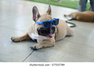 Relax Time of French Bulldog and sunglasses