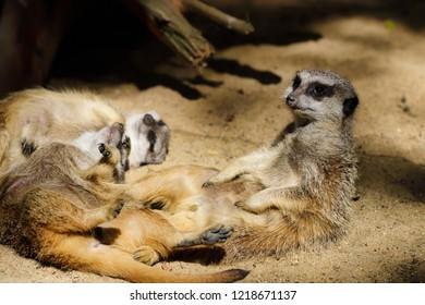 Relax of wild African Meerkat (Suricata suricatta) family. Photography of nature and wildlife.