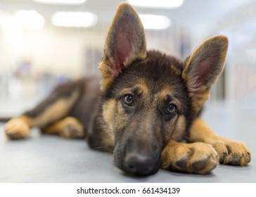 2 Months Old German Shepherd Puppy Images Stock Photos Vectors