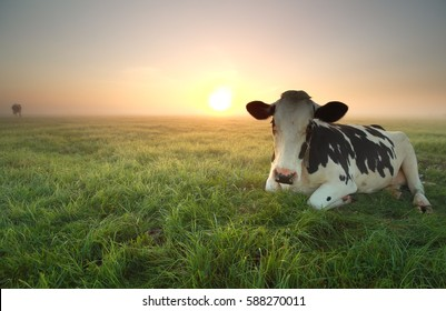 relaxed cow on pasture at sunrise in summer