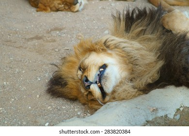 A relaxed funny lion at the zoo in Minsk belarus