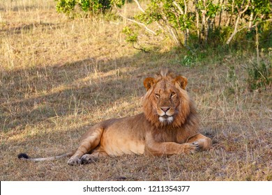 Relaxed male lion lying down and looking at the camera