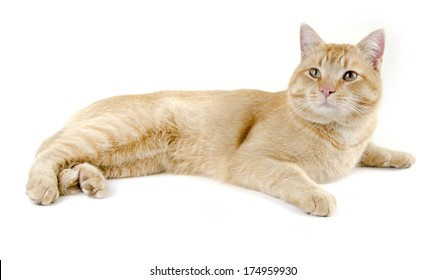 relaxed orange cat