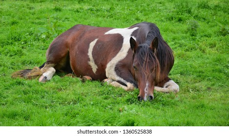 A relaxed piebald horse lying in the grass and grazing.