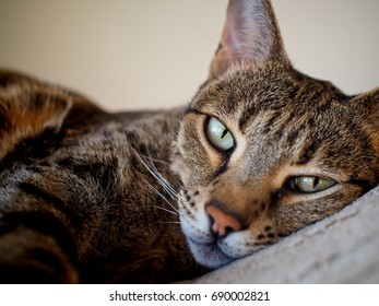 relaxed Savannah cat on bed