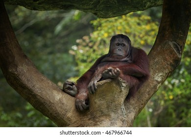 relaxed and take shelter in a tree, orangutan