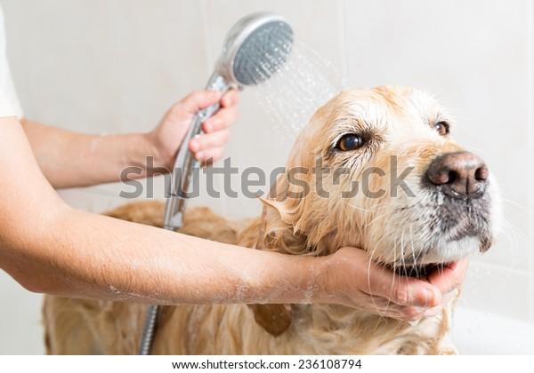 Relaxing bath foam to a Golden Retriever dog