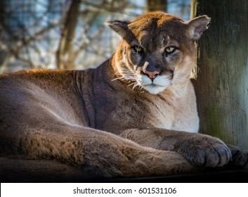 Relaxing beautiful cougar looking ahead close up