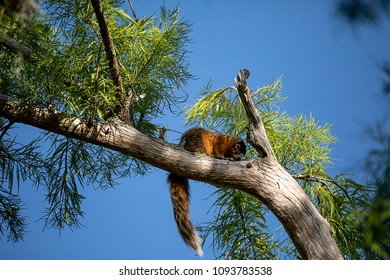 Relaxing big cypress fox squirrel Sciurus niger avicennia rests on a tree branch in summer in Naples, Florida