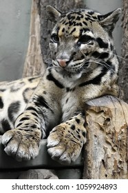 Relaxing Clouded leopard (Neofelis nebulosa), the state animal of the Indian state of Meghalaya.