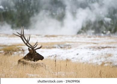 Relaxing elk