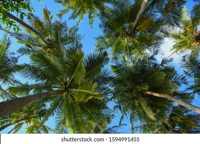 Relaxing and laying under the palm trees with green leaves and clear sunny blue sky. Palm trees shoot from below.