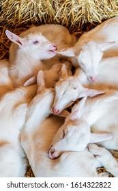 Relaxing newborn goats on hay on a Dutch organic farm