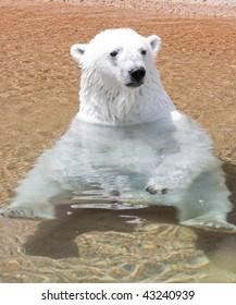 Relaxing Polar Bear