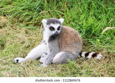 A relaxing ring-tailed lemur at Longleat Safari Park
