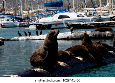 Relaxing Seals in Harbor next to Boats and Geese
