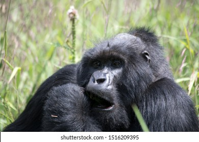 A relaxing Silverback Gorilla in the mountain jungles of Rwanda eating
