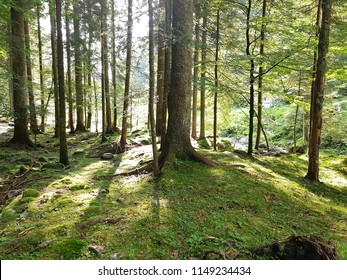 A relaxing view of a pine forest. See the light playing with the vertical line of trees. Bright green in summer time. Italian Alps. Valle Brembana, Bergamo.