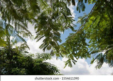 Relaxing view upwards to tropical trees and blue sky with white clouds.  Low angle view of tropical trees. Horizontal photo.